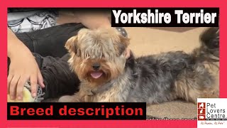 DOGS Yorkshire Terrier breed information