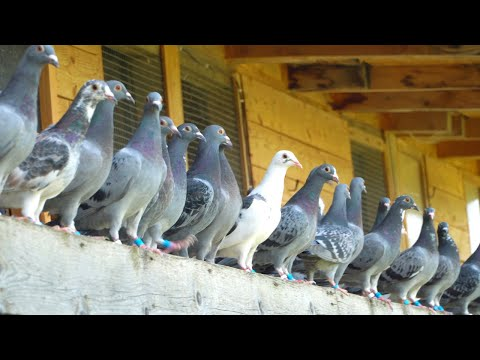 Download A Day in the Life of Young Racing Pigeons - 2021 Generation