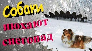 """""""Собаки нюхают снегопад"""".Собаки породы шелти и московская сторожевая"""