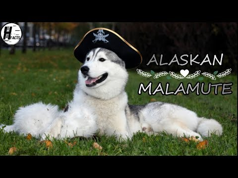 Alaskan Malamute Dog Facts | Hindi | Dog Facts | HINGLISH FACTS