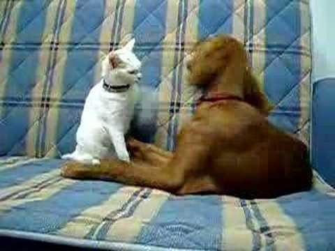 Kurdish Angora Van Cat vs.Irish Setter Dog Cat Fight