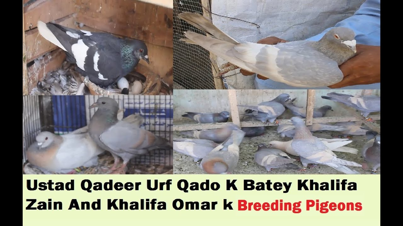 USTAD QADEER ki Chaht k Breeding Pigeons And Banarsi Ghahgrey in Karachi -  Part 2