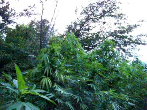 my own personal heaven outdoor monster marijuana guerilla grow 2010