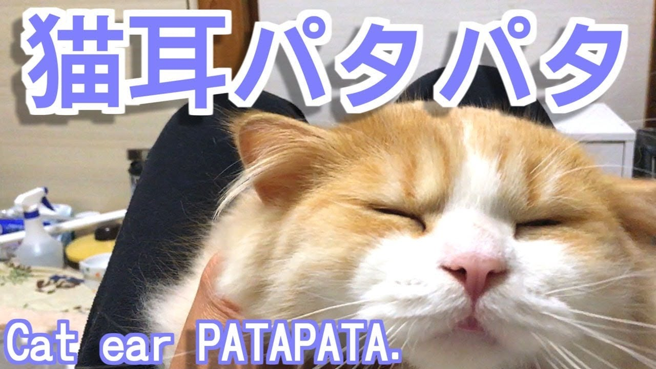 猫耳パタパタ【子猫可愛いおもしろ猫動画】 Cat ear PATAPATA