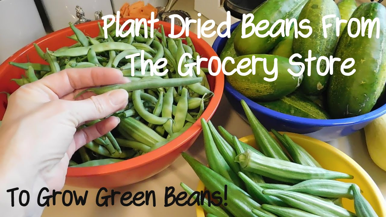 We Planted Dried Grocery Store Beans To Get Green Beans In Our Garden Youtube Green Beans Dried Beans Growing Green Beans