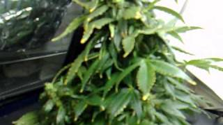easy ryder auto ak47 x lowryder 2 aerogarden cannabis grow harvest part 1