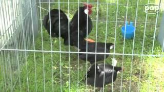 Gallus czyli kura: piękna i ciekawa