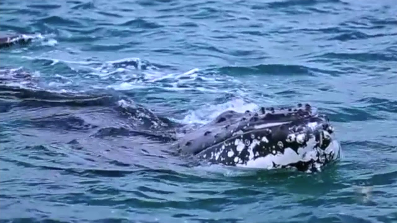 video Whale Watching in Hervey Bay