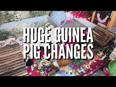 GUINEA PIG SHED SPRING CLEAN | + cage upgrades | + bonding the herd | Hannah Cerys