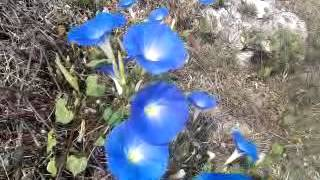 Amazing Mexican Blue Flowers Natural Blue Flower