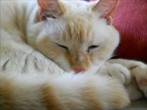 Goldy the Flame Point Siamese Cat