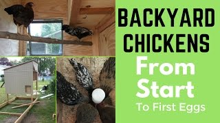 Backyard Chickens Success in your First Year
