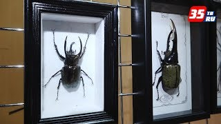 Бразильских жуков-арлекинов и мадагаскарских бабочек увидят вологжане
