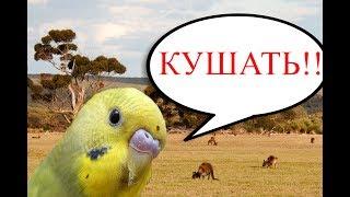 Волнистые попугаи кормление и уход птенцов - разведение волнистых попугаев