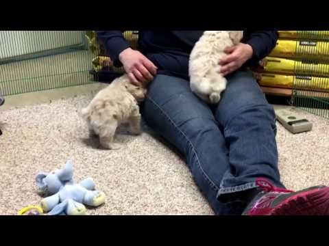 Shasta's schnoodle  puppies 2-8-17 6 weeks old
