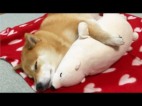 Funny Shiba Inu Compilation 2017 - Best Funny Shiba Inu Videos Ever