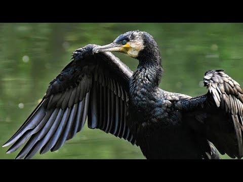 L'invasione dei cormorani. Da specie protetta a minaccia per la pesca