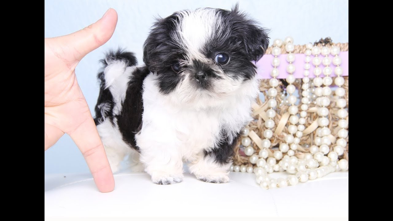 Black And White Shih Tzu Puppy Too