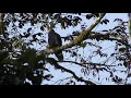 Hook billed Kite | Chondrohierax uncinatus