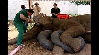 ASÍ SE LE CURA UNA CARIES A UN ELEFANTE - Dental operation of an elephant
