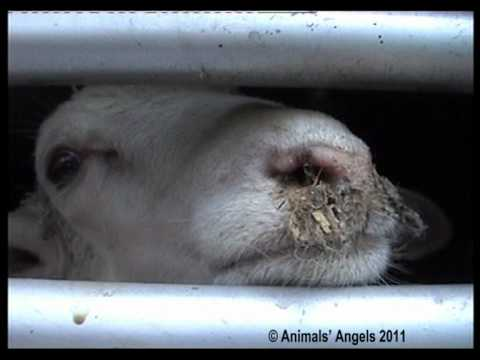 Animals Suffering on Long Distance Transports From EU Member States to Turkey (2011)