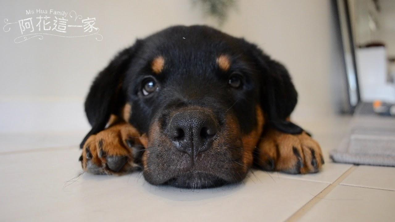 〖阿花這一家〗 加入新成員!洛威拿小弟呆萌,長大後男大18變,食量驚人,傻子一枚!【Rottweiler what a beast and such a cutie in one package】