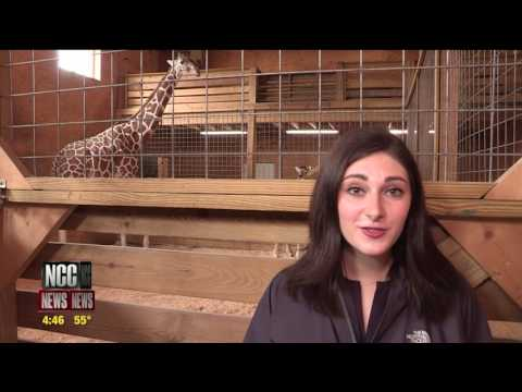 Thumbnail: Construction Ensues After April the Giraffe Fame