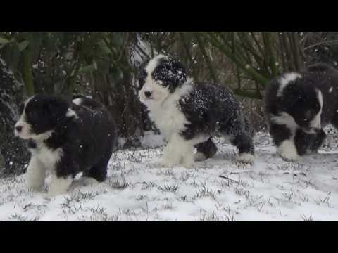 Bearded Collie puppies - 8 February 2017