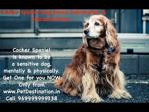 Cocker Spaniel is known to be a sensitive dog, mentally and physically | Call 969999999338