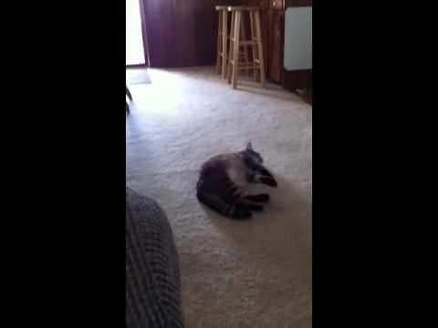 grey tabby kitten for sale surrey