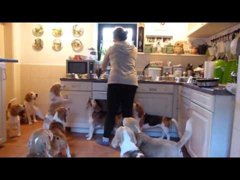 How to... feed 11 Beagles