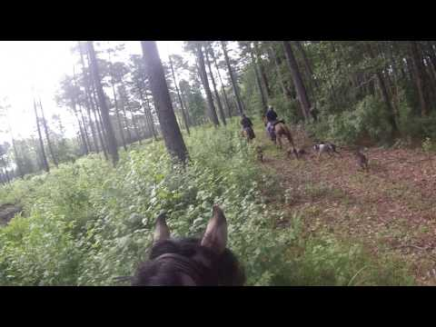 Marsh Tacky Belle dragging hog