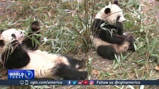 Chinese conservation program uses 'panda diplomacy' to raise awareness