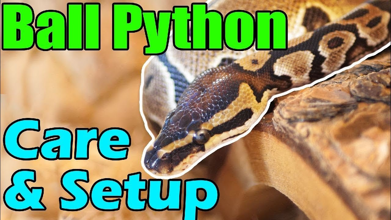 how-to-care-for-ball-pythons