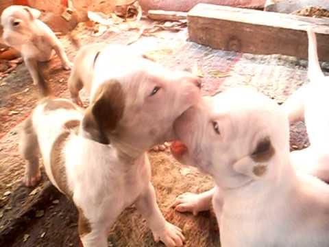 american pitbull terrier cachorros en venta monterrey nuevo leon mexico