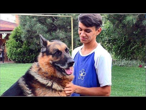 Солар. Кобель немецкой овчарки 7 лет. Solar. The dog of the German Shepherd is 7 years old. Одесса.