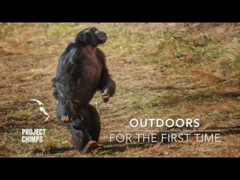 chimps go outdoors for the first time youtube