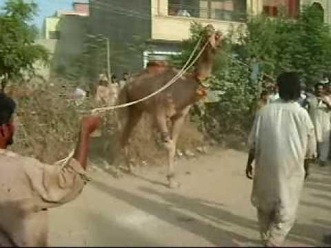 camel qurbani at malir 15 aswan town nov 2009 - YouTubeQurbani Cow 2009