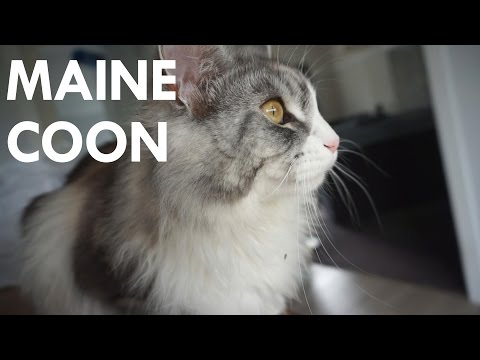 Maine Coon Cat Chirping / Clicking