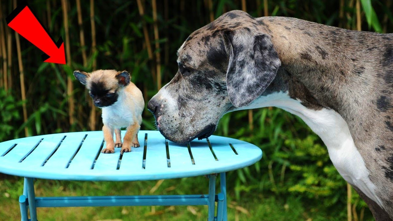 दुनिया के सबसे छोटे कुत्ते , जो आपके पॉकेट में आ सकते है   10 Smallest & Cutest Dogs In The World