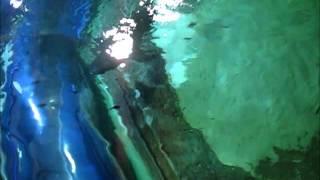 Meet Sunrise our Lemon Shark at Blue Planet Aquarium UK