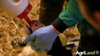 How to test the quality of colostrum and top tips on stomach tubing a calf