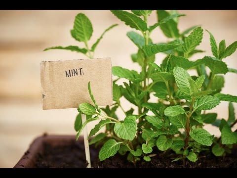 Это растение защитит ВАШ ДОМ от тараканов, пауков,  мышей...