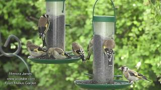 Many Goldfinches In My Garden
