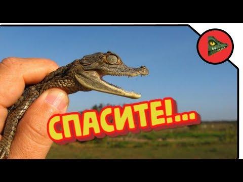 Вопрос: Какой из крокодилов самый маленький?