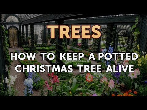 How to Keep a Potted Christmas Tree Alive - YouTube