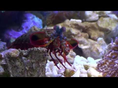 Odontodactylus Scyllarus- Peacock Mantis Shrimp smash a Sea Shell
