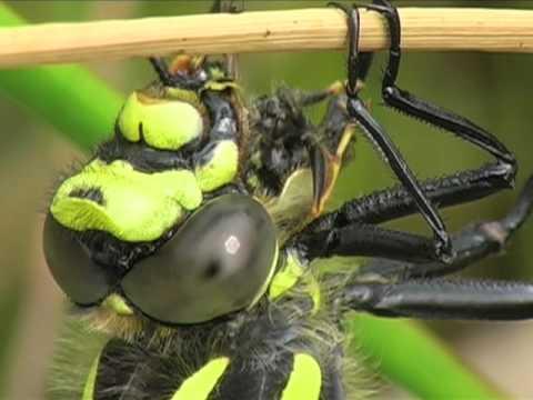 Dragonflies and Damselflies feeding