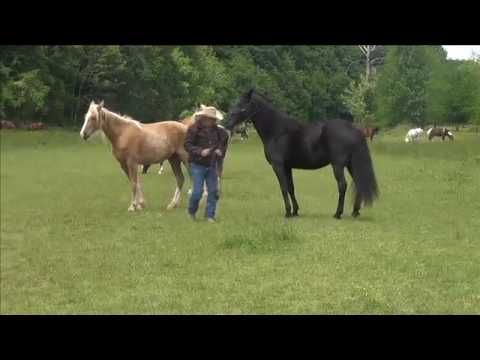 Working a horse in open field with other horse's
