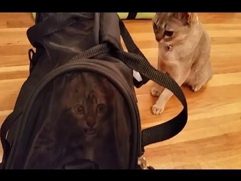 Baby Bengal Kitten Meets Singapura Kitten for 1st Time